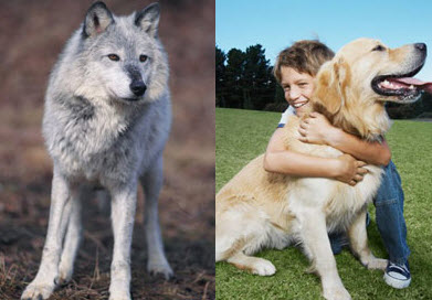 Dogs and Gray Wolves