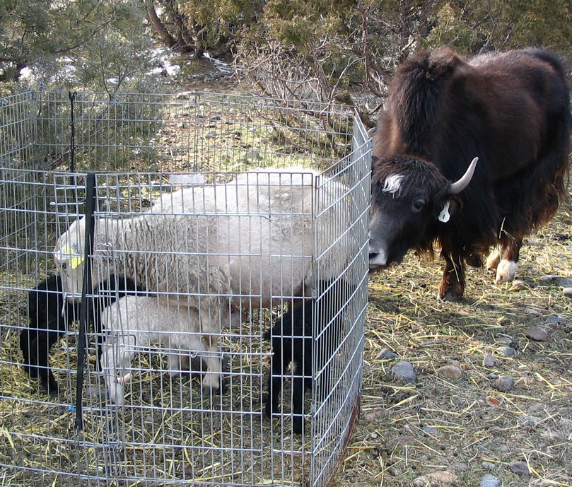 Domestic Cattle and Guard