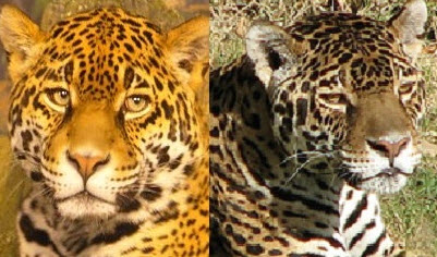 Leopards and Jaguars