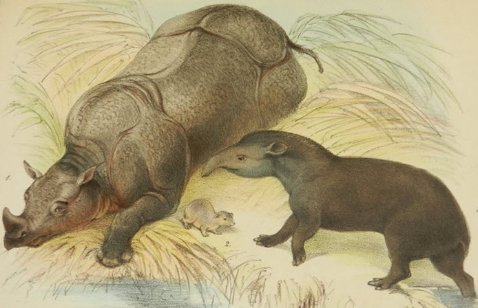Tapirs and Rhinoceros